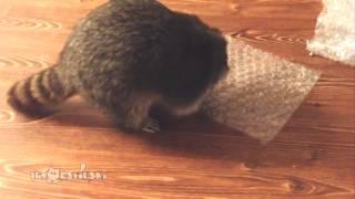 Raccoon Popping Bubble Wrap / Невозможно остановиться