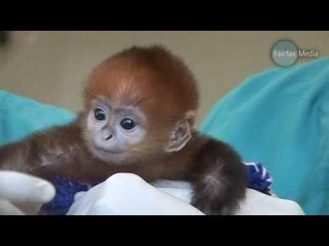 Baby Monkey Francois Langur