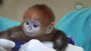 Repeat youtube video Baby Monkey Francois Langur