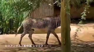 シマウマくんの叫び🦓 Zebra screams Los Angeles zoo 1:00~ Zebra screa...
