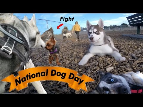 husky-puppies-first-time:-national-dog-day-at-the-dog-park-!