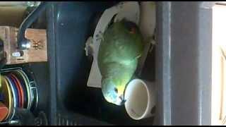Попугай пьет чай!