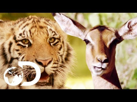 Teaching Zoo-Born Tigers How To Hunt In The Wild | Living With Tigers