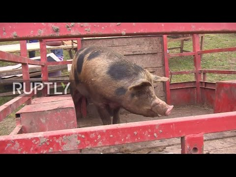Serbia: Pig slaughtering competition gets underway in Voganj