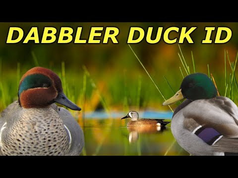 Dabbling Duck ID   Hunting Boot Camp