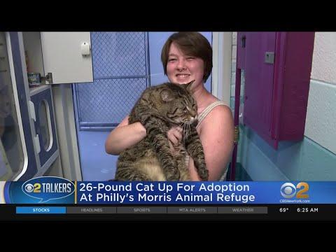 26 Pound Cat Up For Adoption , YouTube