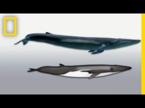 Hybrid Whale | National Geographic