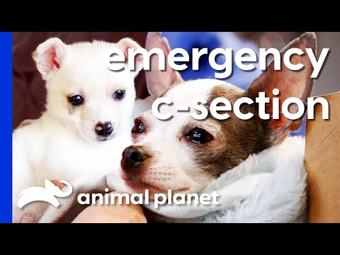 Tiny Chihuahua Struggles To Give Birth To Giant Puppy | Dr. Jeff: Rocky Mountain Vet