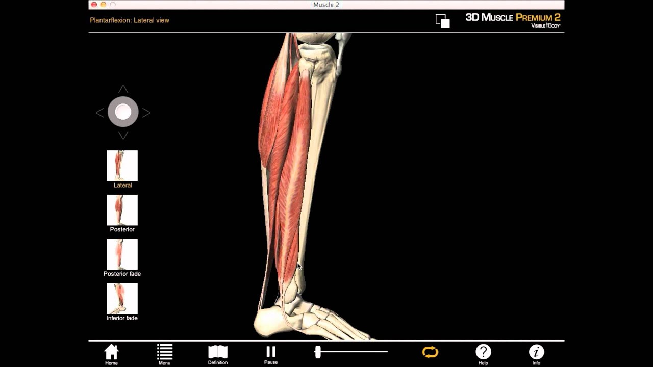 Knee And Plantar Flexion Muscle Actions With Muscle Premium Youtube