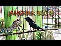 Kolibri Isian Jangkrik Ngebren(.mp3 .mp4) Mp3 - Mp4 Download