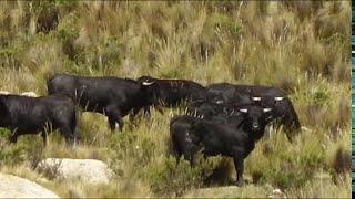 Ganadería Achacota criadores de toros bravos
