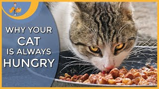 Why Is My Cat Always Hungry The 7 Main Reasons Youtube