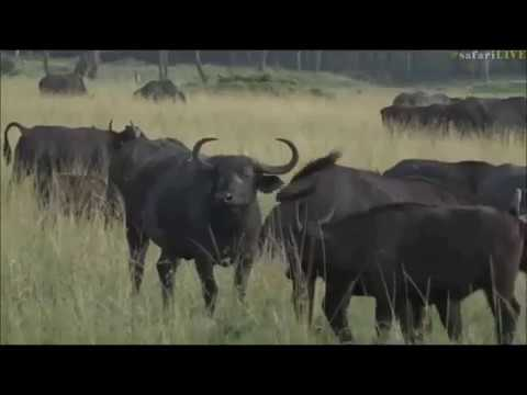 Safari Live : Jamie in the Masai Mara on drive this morning June 08, 2017