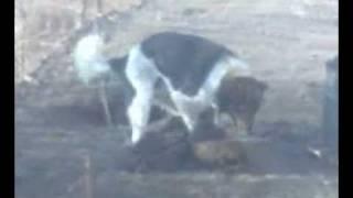 Собака Жестко порит .3gp