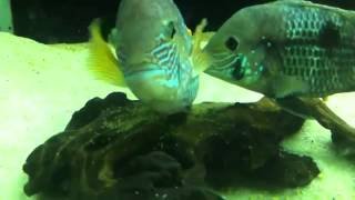 Green terror cichlid  spawning and guarding the eggs