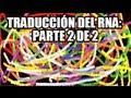 Traducción del RNA: Enlongación y terminación