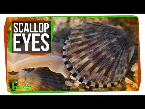 Download Youtube: There Are Crystal Mirrors Hidden in Scallop Eyes