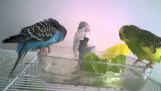 Parakeets Bathing, Swimming, & Taking a Bath ~Very Cute~