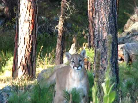 South Dakota mountain lion - close!