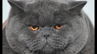 Смешное видео с котами - РЕЙТИНГ САМЫХ  БОЛЬШИХ КОТОВ 2019 &  ОЧЕНЬ ТОЛСТЫЕ БОЛЬШИЕ  КОТЫ