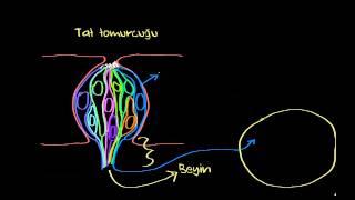 Gustasyon (Tat Alma) - Yapısı ve İşlevi (Sinir Sistemi Fizyolojisi) (Psikoloji / Çevreyi Algılama)