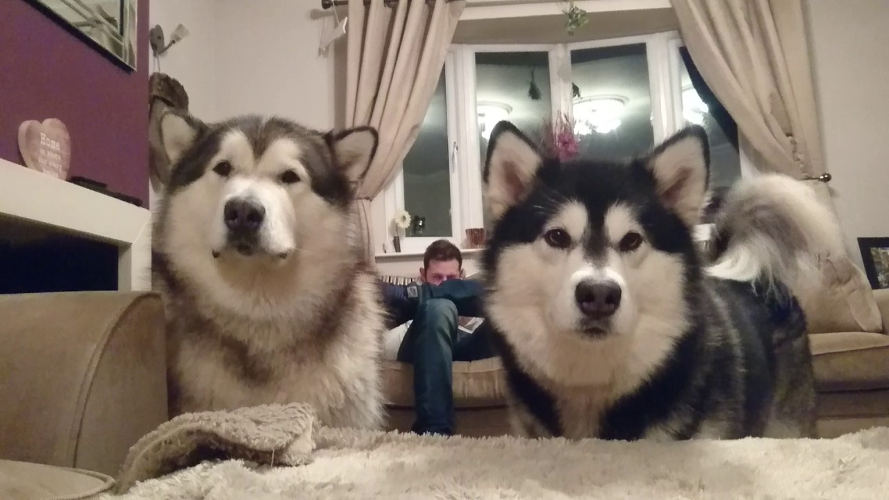 Life With Malamutes Youtube – Life with malamutes total subscribers count stats.