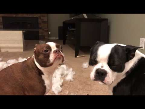 Bad Boston Terriers!  Destroyed pillow - huge mess!