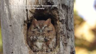 Funny little Eastern Screech Owl
