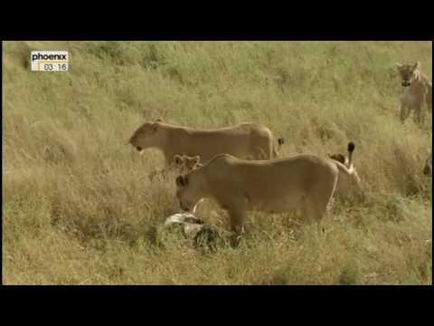 Download Lion vs Hyena Interaction (lang=german)