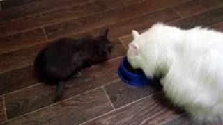 котёнок забирает миску у кошки