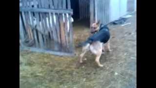 Big Dog Harlem Shake V1