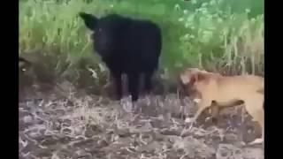 #pitbull#doglover#onlydogs Pitbull dog attack for jungle pig very dangerous video