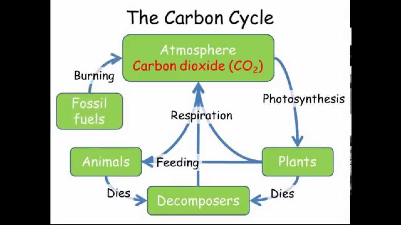 carbon nitrogen cycles gcse combined science biology  [ 1280 x 720 Pixel ]