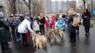 Аренда собак хаски на праздник, съемку| 8(965)380-13-11 Москва