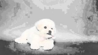 순종 비숑프리제 강아지분양 [영점일프로]