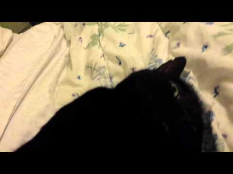 Bombay Cat Purring Motor
