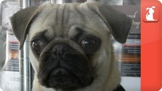 Crippled Pug with Crushed Spine - Unadoptables