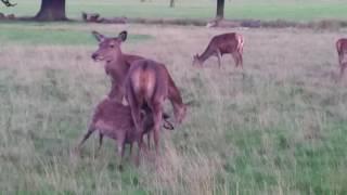 Deer Feeding Her Baby In Richmond park (London)