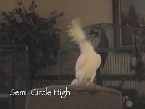 Snowball the dancing cockatoo is back—with a whole new set of moves