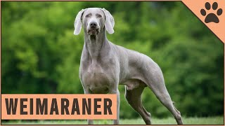Weimaraner  All About The Dog Breed