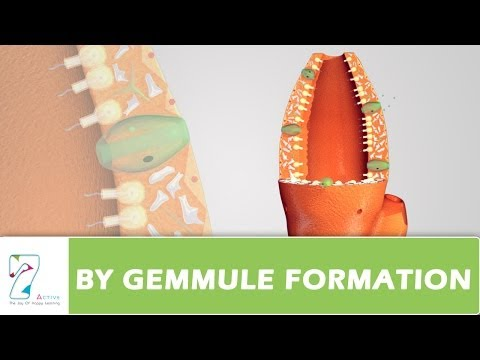 Gemmulation asexual reproduction plants