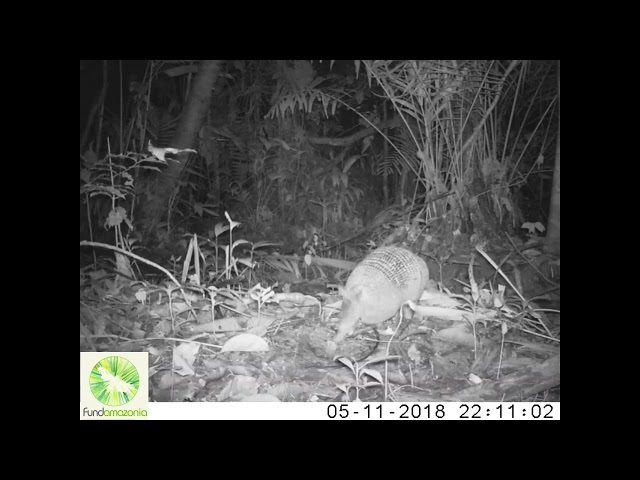 Nine   banded armadillo   Dasypus novemcinctus2