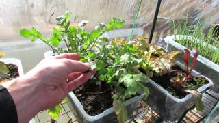 14 Cool Weather Vegetables You Can Grow & A Cup Growing Method For Greens - Mfg 2013