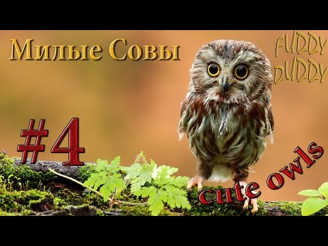 Смешные совы (8 фото + 4 видео)