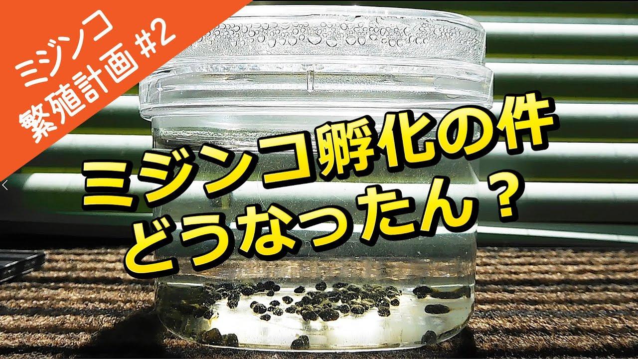 【ミジンコ繁殖計画#2】タマミジンコ孵化の件どうなったん?