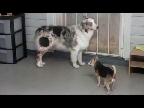 Chihuahua / Australian Sheppard Love