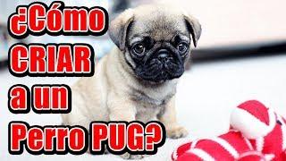 ¿Cómo criar a un perro Pug?