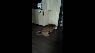 Кот играет с большим пушистым хвостом