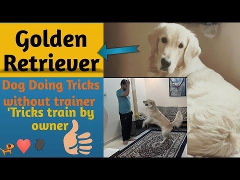 Trained Dog tricks (Golden Retriever) at home