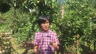 Atago Asian Pear Fruits: Enormous Size World Record Largest Nashi @ 6.5 Pounds - Superior to Niitaka